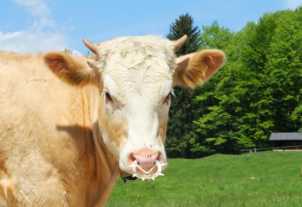 Glückliche Kuh - Regionale Landwirtschaft